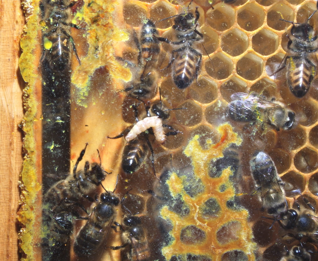 Une larve de gallérie dans une ruche