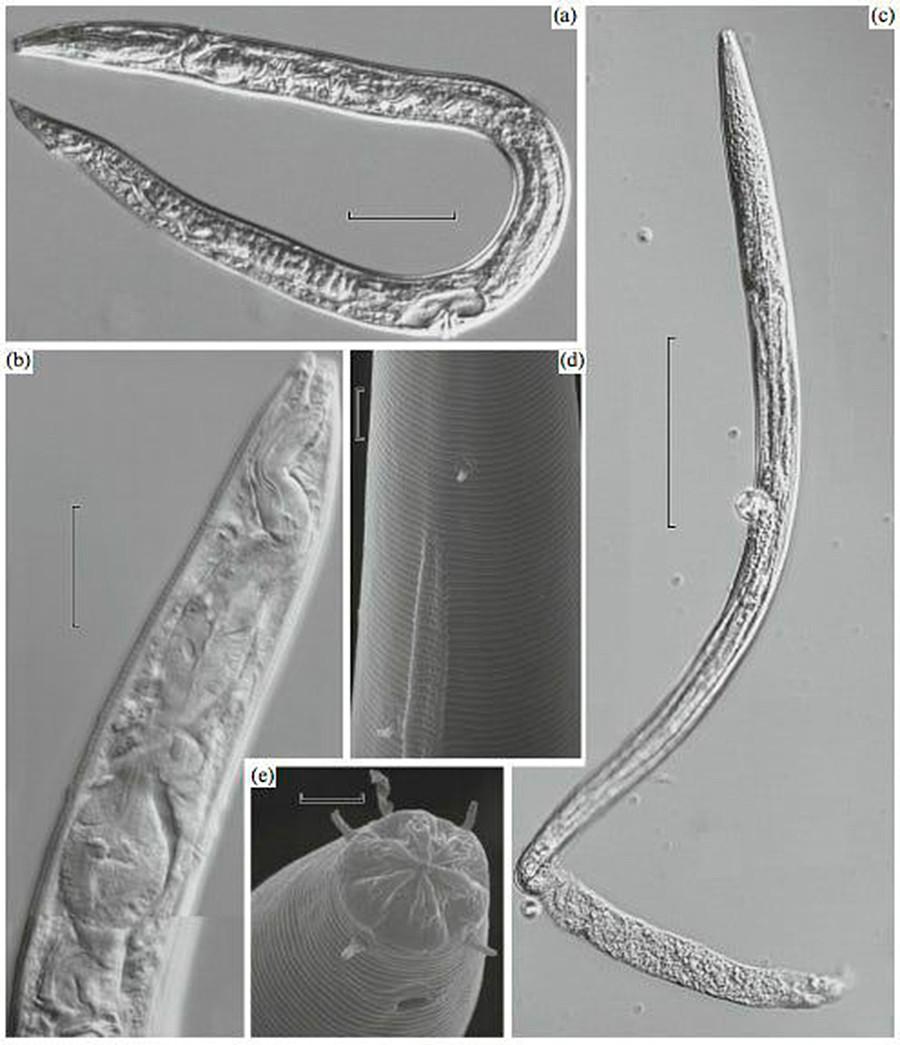Древние круглые черви