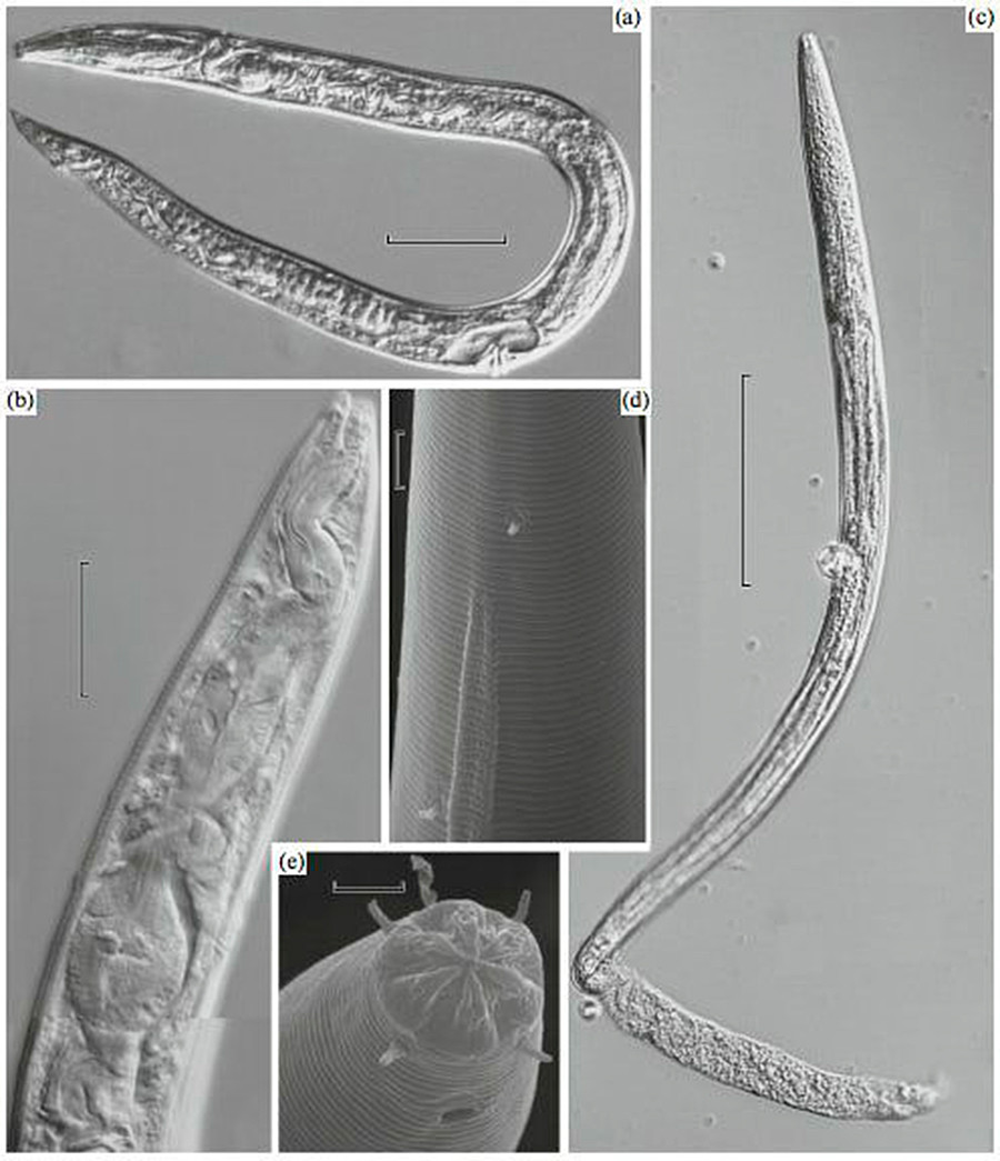 永久凍土で見つかった古代の線虫