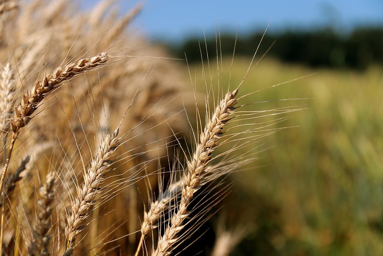 Пшеница на полях Федерального исследовательского центра