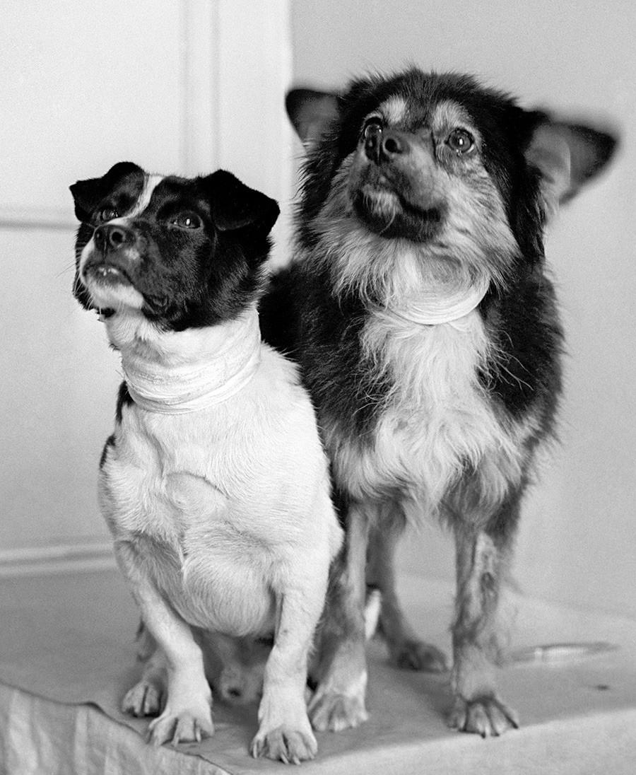 """Пси који су послати у свемир на сателиту за биолошка истраживања """"Космос-110"""". Московска област, СССР, 20. мај 1966."""