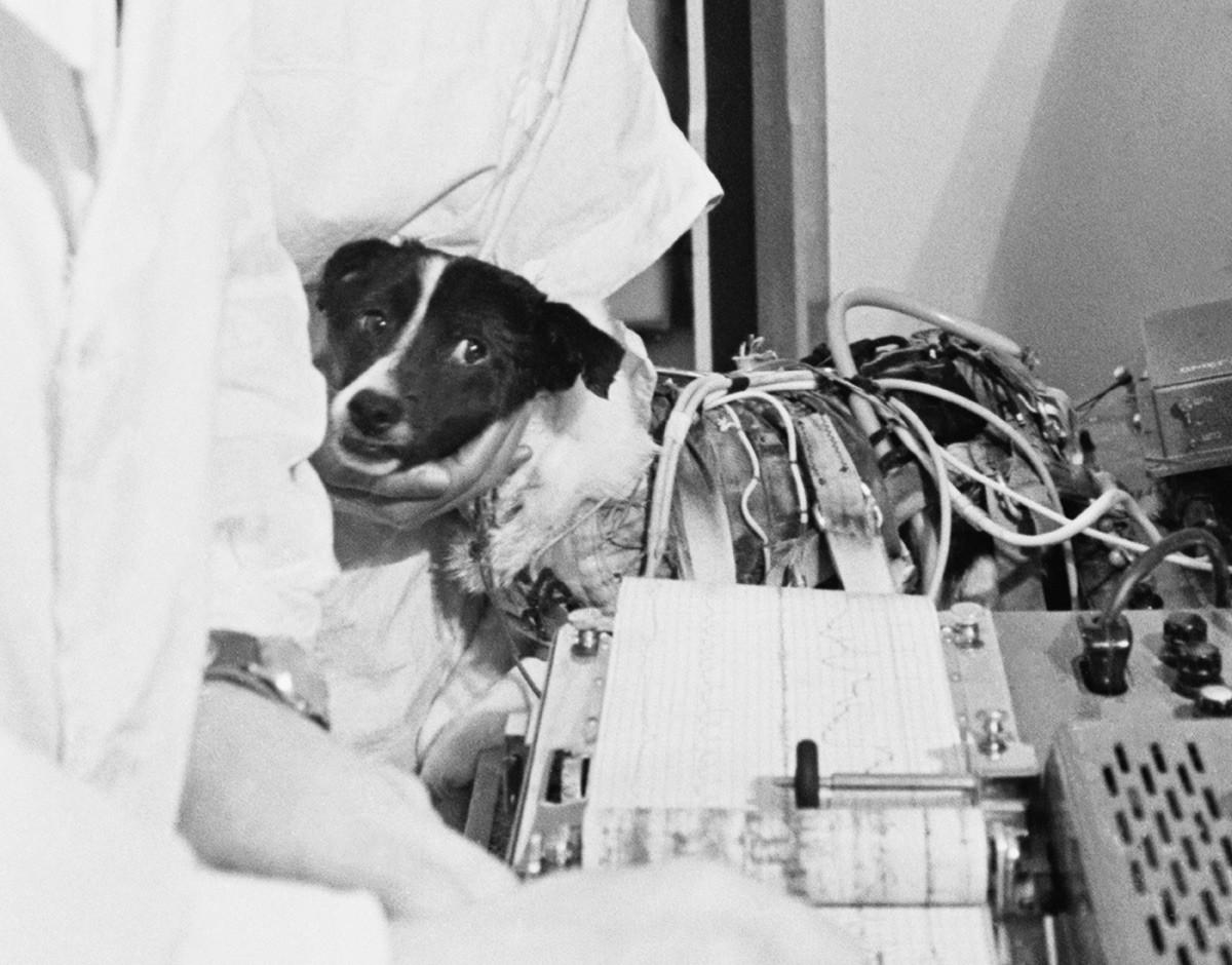 """Ветерок за време мерења физиолошких функција после 22-дневног лета у свемирском броду """"Космос-110"""". СССР, Москва, 17. март 1966."""