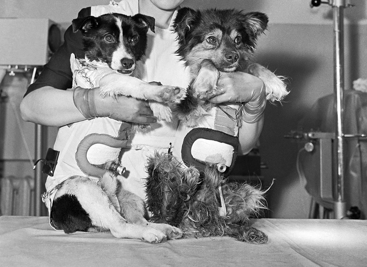 Psi Veterok i Ugoljok (slijeva nadesno) u svemirskim kombinezonima na pregledu nakon 22-dnevnog leta u svemirskom brodu