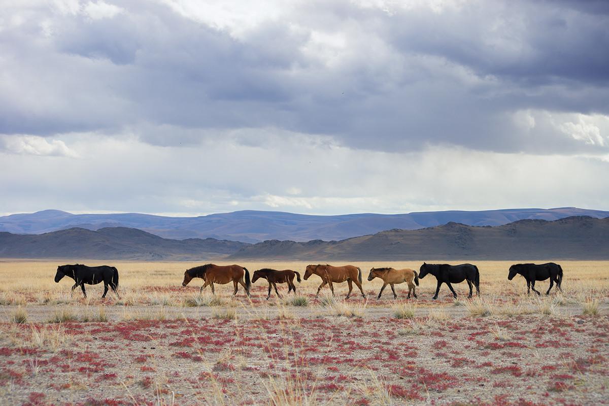 Cavalli nel Kosh-Agach