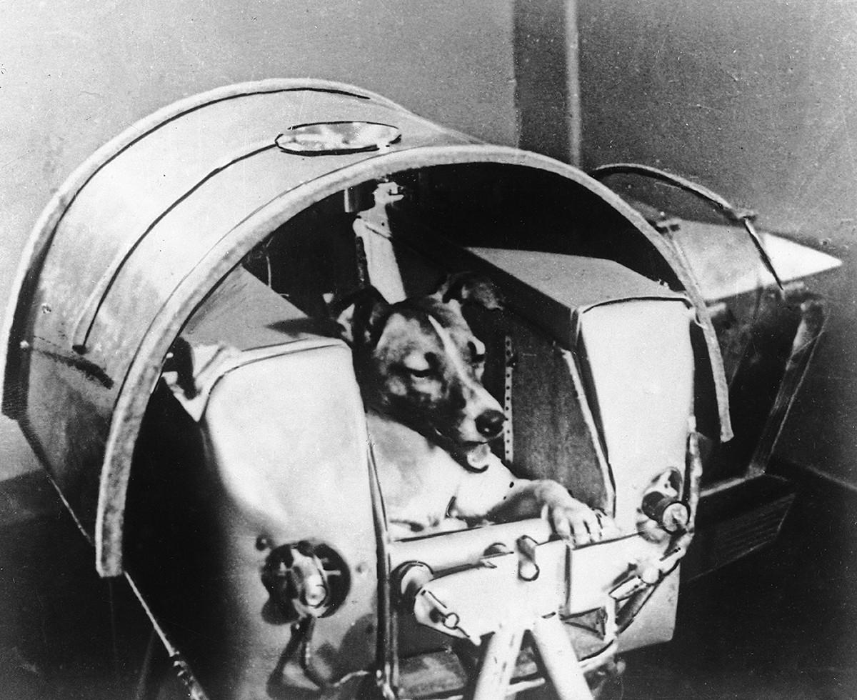 La cagnetta Laika nella sua cabina ermetica, poco prima di essere piazzata nella capsula spaziale con cui sarebbe volata nello Spazio il 3 novembre del 1957