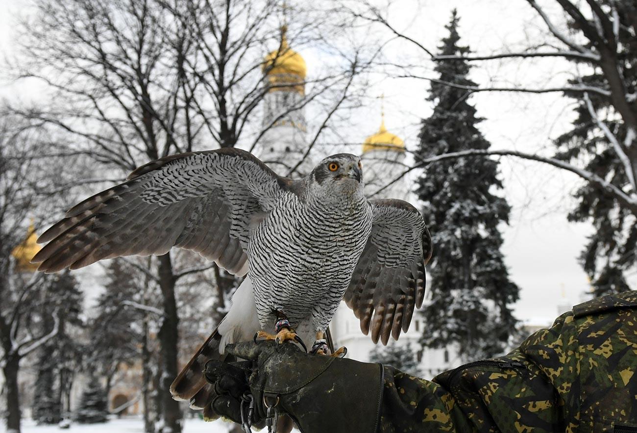 Ястреб на служба на московския Кремъл.