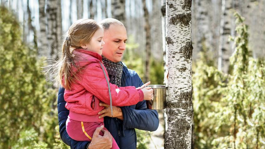 Mengumpulkan getah phon birch untuk diminum.