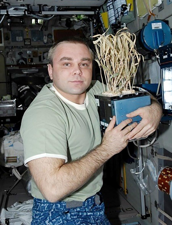 Le cosmonaute Maxim Souraïev et du blé spatial