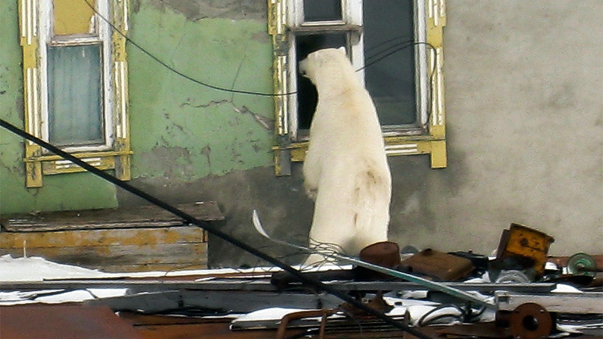 Seekor beruang di Desa Amderma, Okrug Otonom Nenets, Rusia.