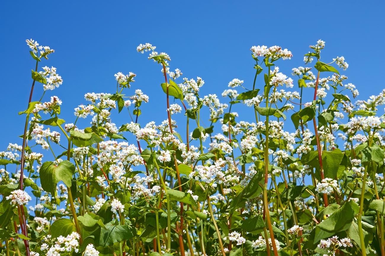 Ajda (Fagopyrum) med cvetenjem