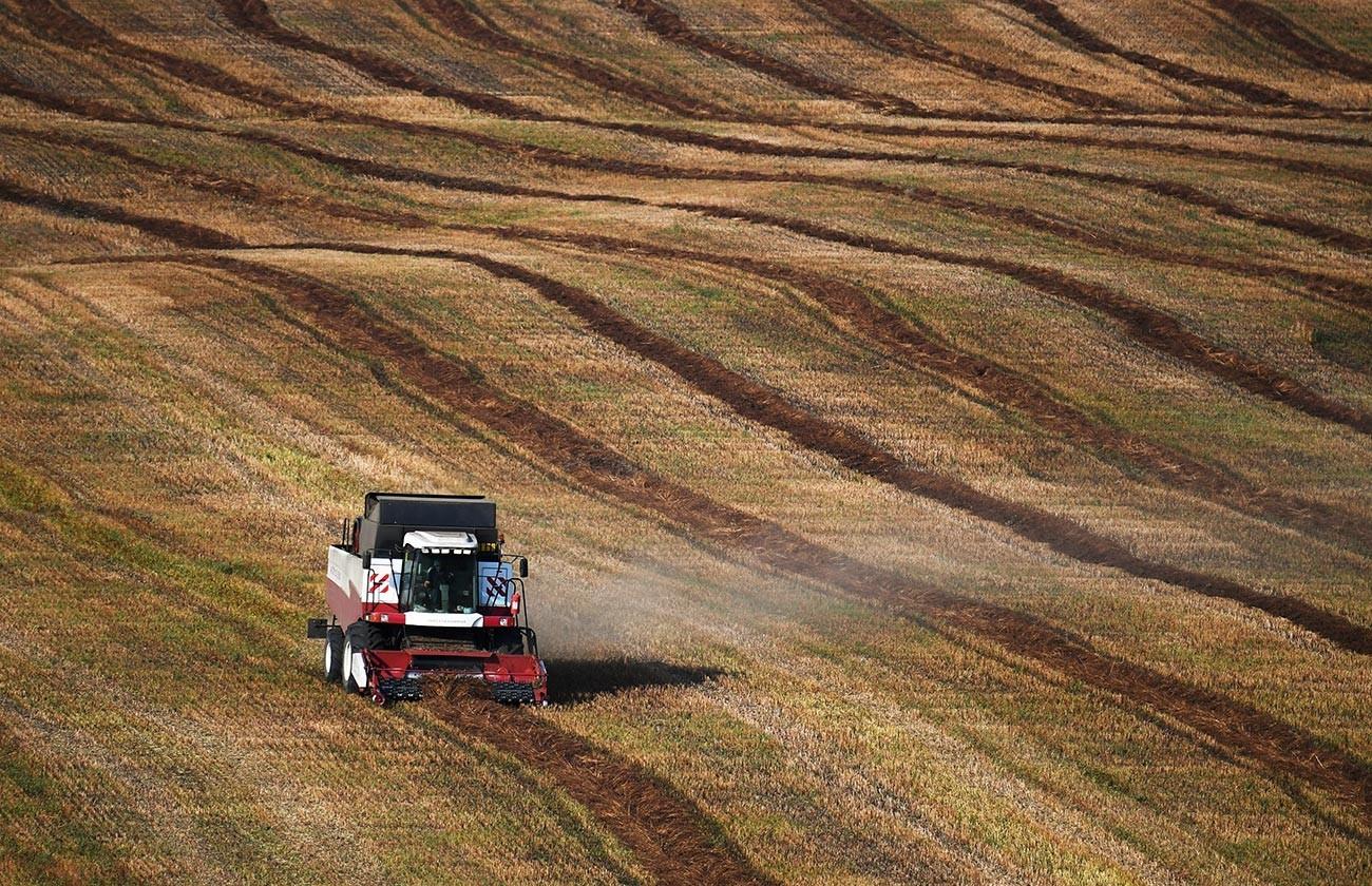 Colheita de trigo sarraceno nos campos da região de Altai.