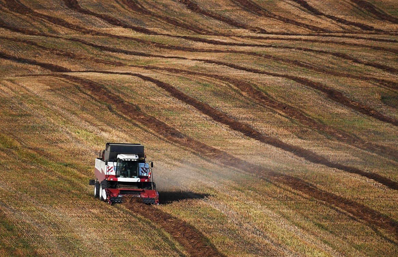Un campo di grano saraceno nella regione dell'Altaj