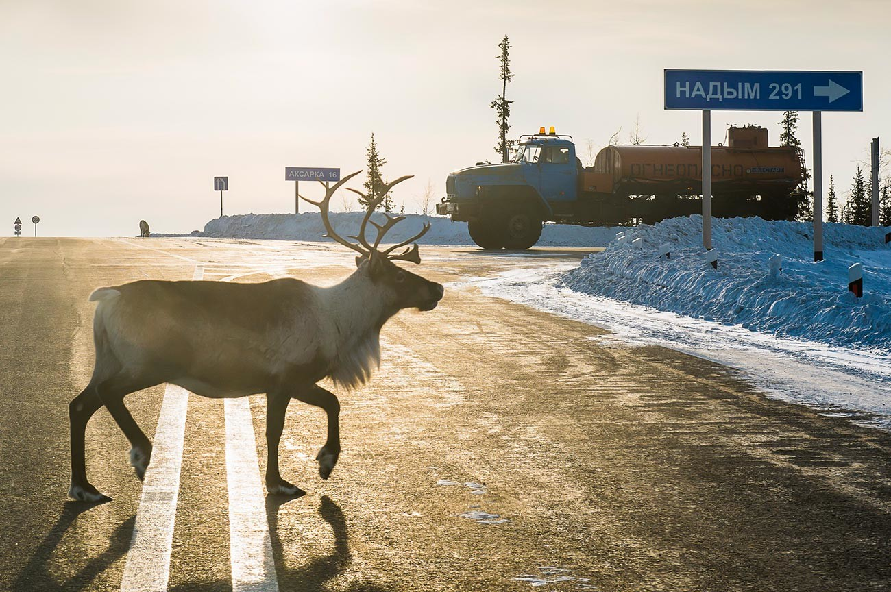 Seekor rusa salju menyeberang jalan.