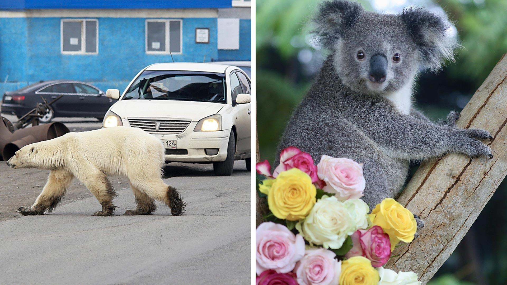 Apakah Anda akan memberi tahu beruang kutub ini bahwa dia salah menyeberang jalan?