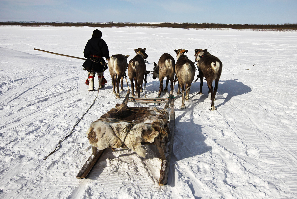 Sledges called narty. Yamal.