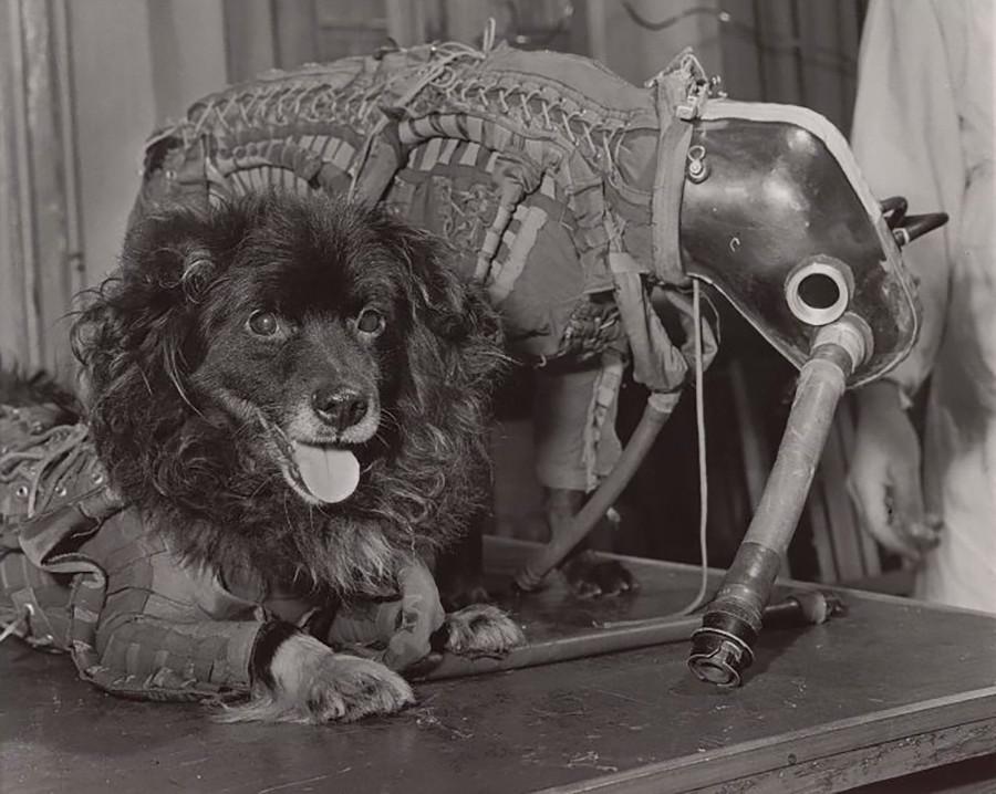 R–18ロケットで飛行した後、無事に地球に帰還する宇宙犬のミーシカとチジク