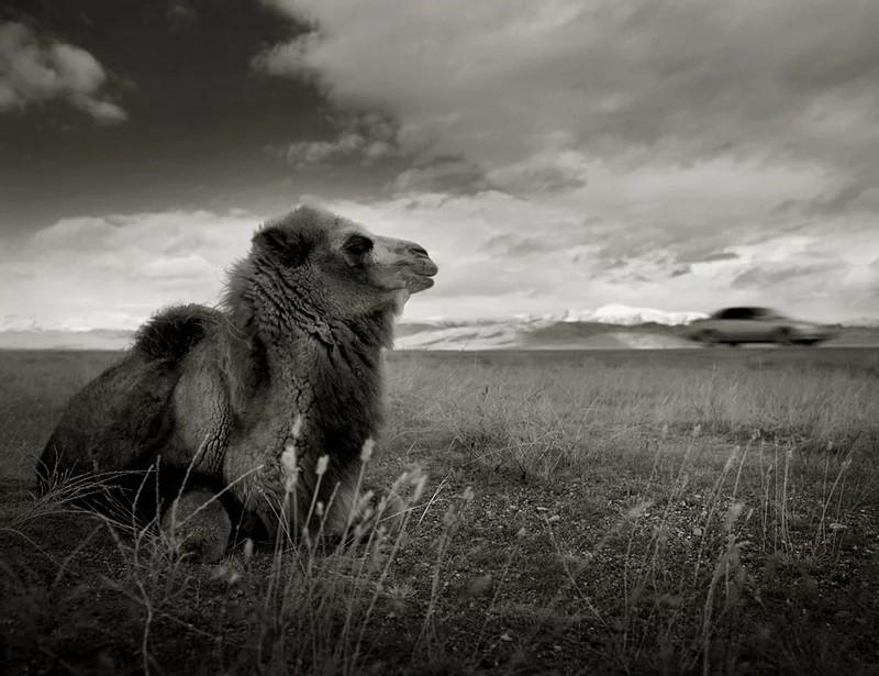 Un chameau et une voiture passant par la steppe de Tchouïa