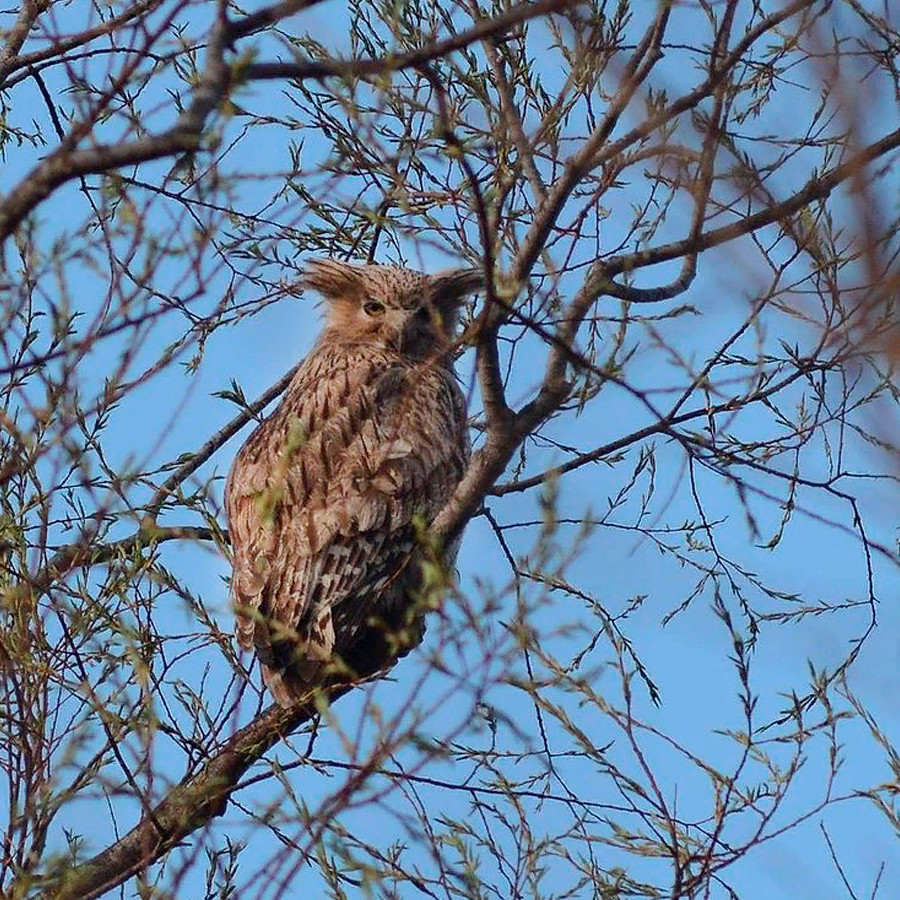The world's largest owl, the Blakiston's fish owl, is hunting fish