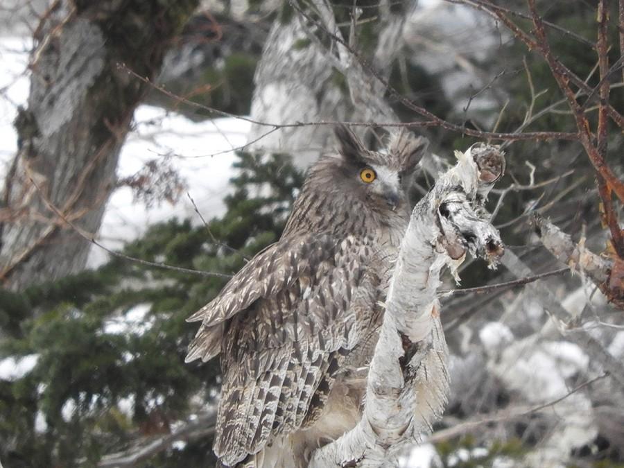 Blakiston's fish owl in Kurilsky nature reserve