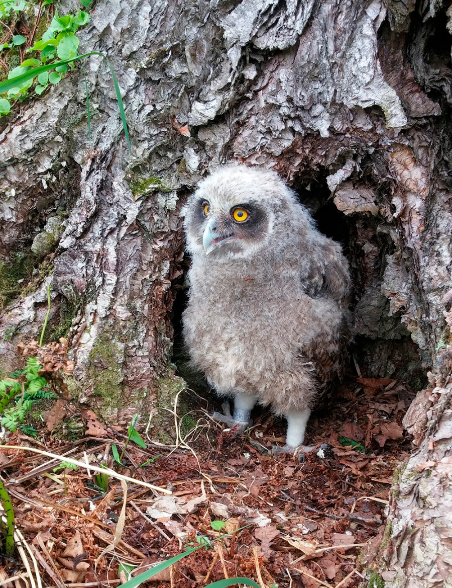 A ringed owl chick