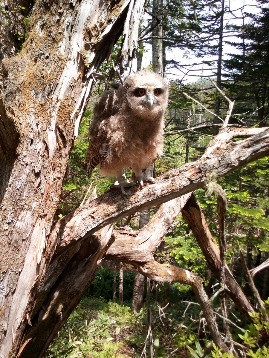 Circa 200-400 esemplari dei 3.700 gufi rimasti in natura abitano nel territorio di Primorje, nell'Estremo Oriente russo