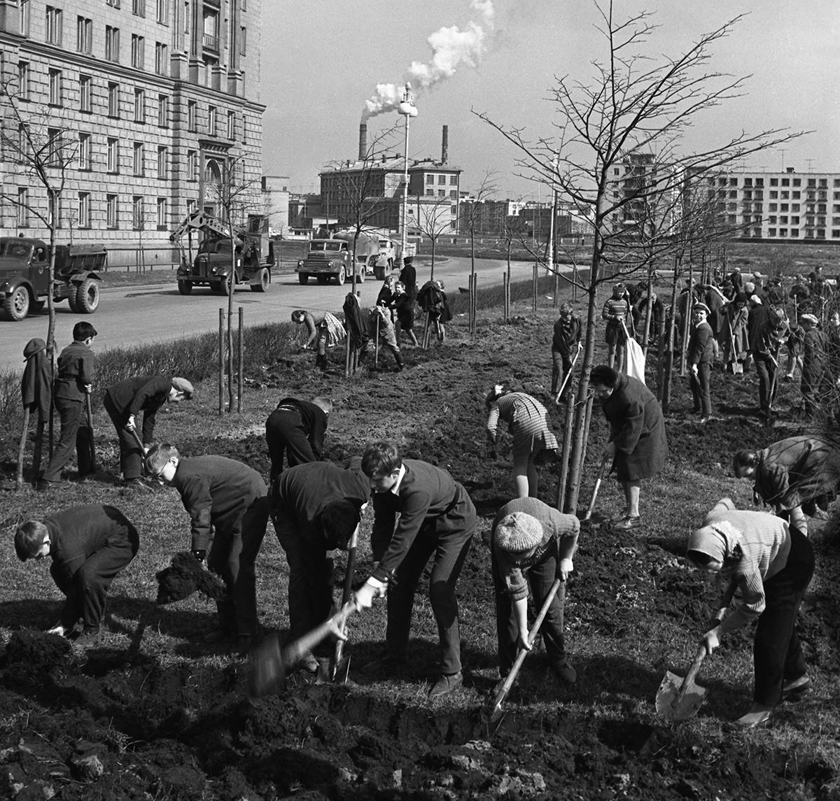 Soubbotnik à Moscou : des écoliers et professeurs plantent des arbres dans un square. 1964