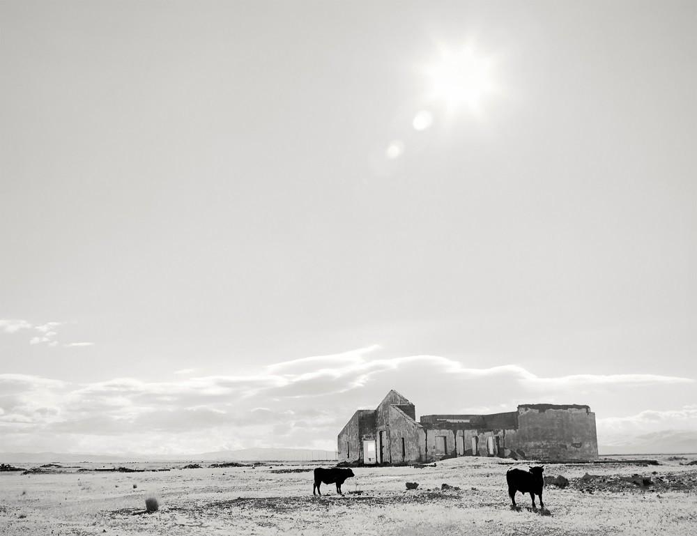 Zwei Ochsen grasen auf der Tschuja-Steppe.