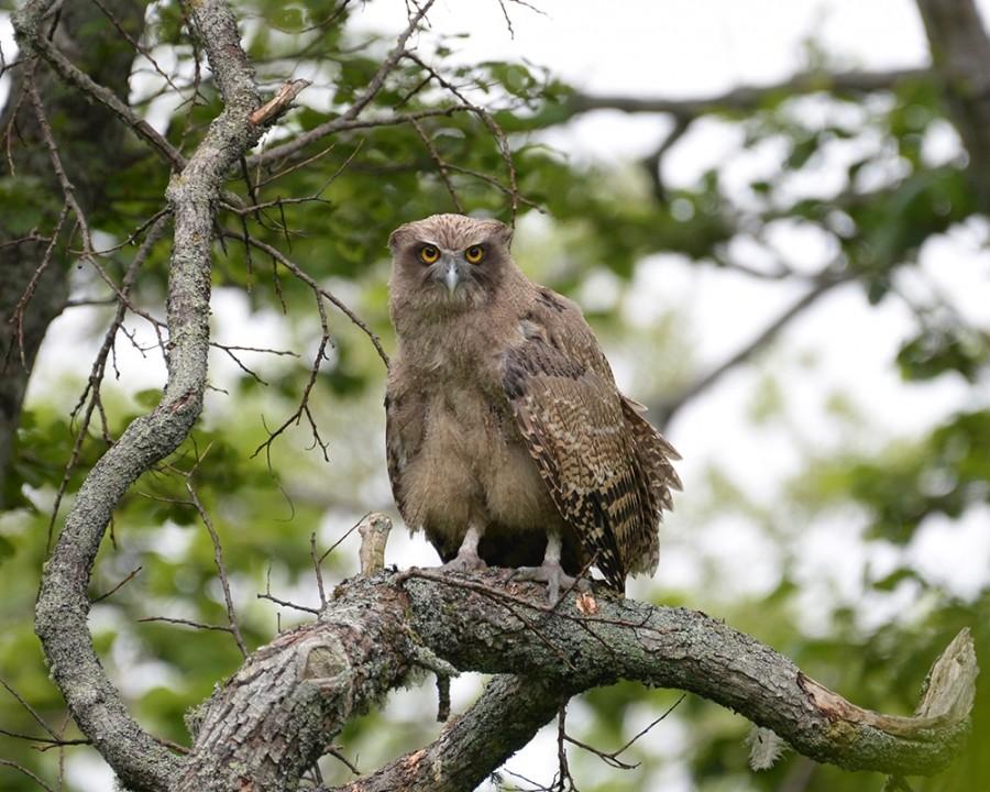 Ketupa blakistoni es un nombre latino para el búho pescador de Blakiston