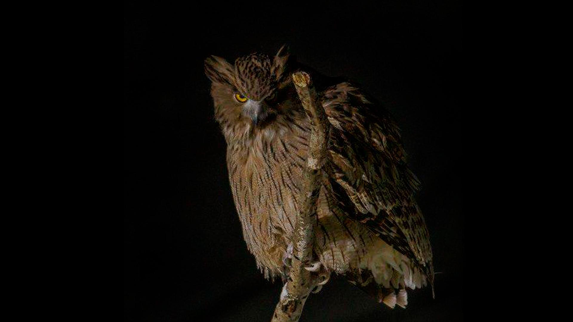 Burung hantu ikan Blakiston