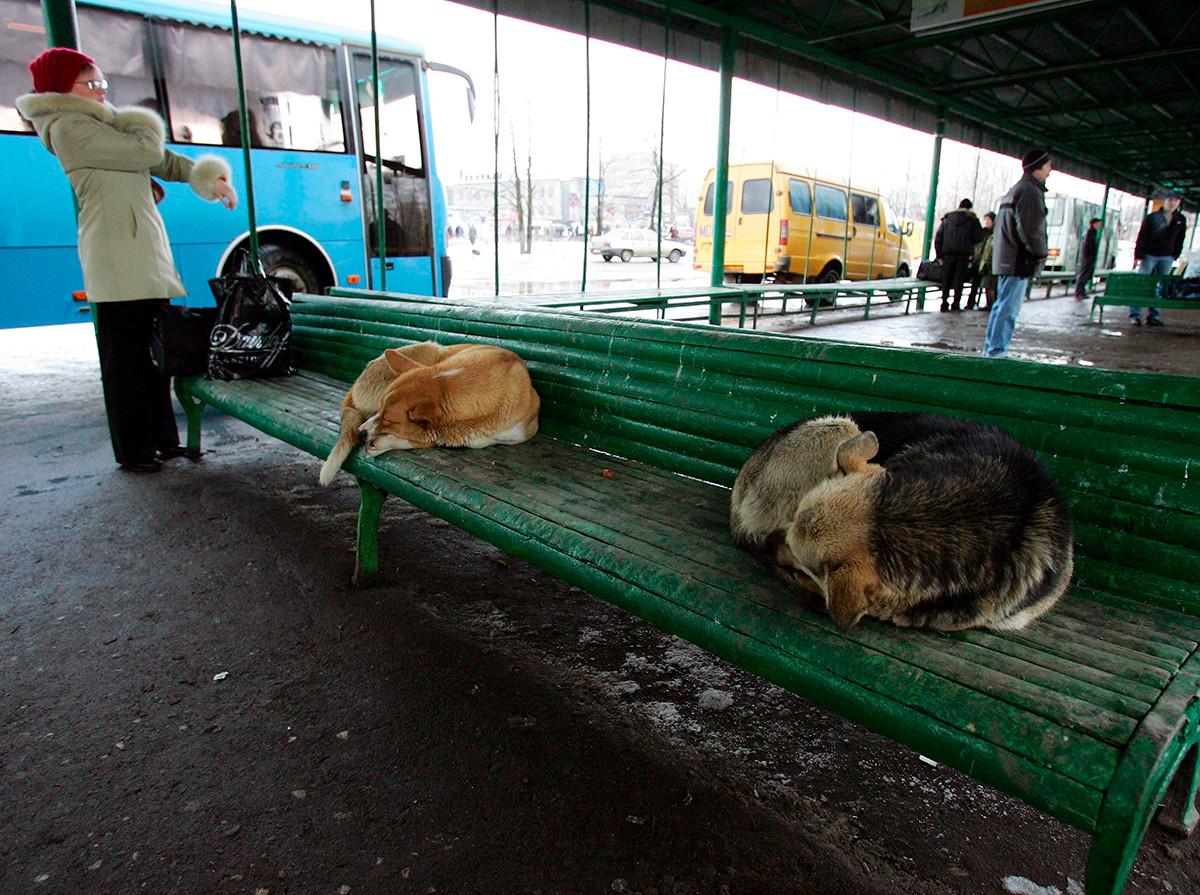 Chiens errants dormant sur le banc d'un arrêt de bus dans la ville de Kostroma