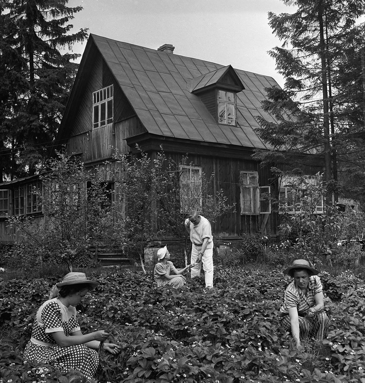 Семья рабочего на даче обрабатывает грядки с клубникой. 1953