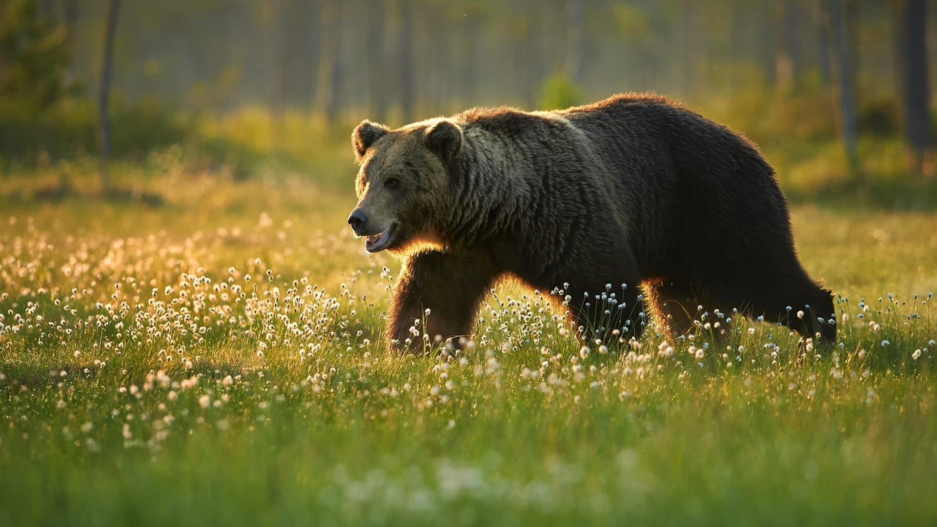 Seekor beruang cokelat muda di alam liar