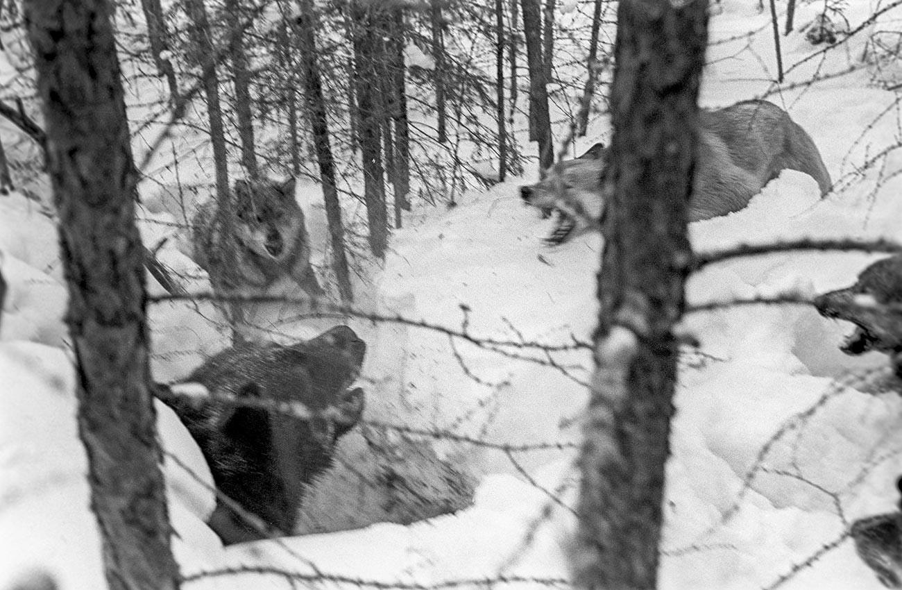 Seekor beruang dipancing keluar dari sarangnya dengan bantuan anjing. Krasnoyarskiy krai, Rusia.
