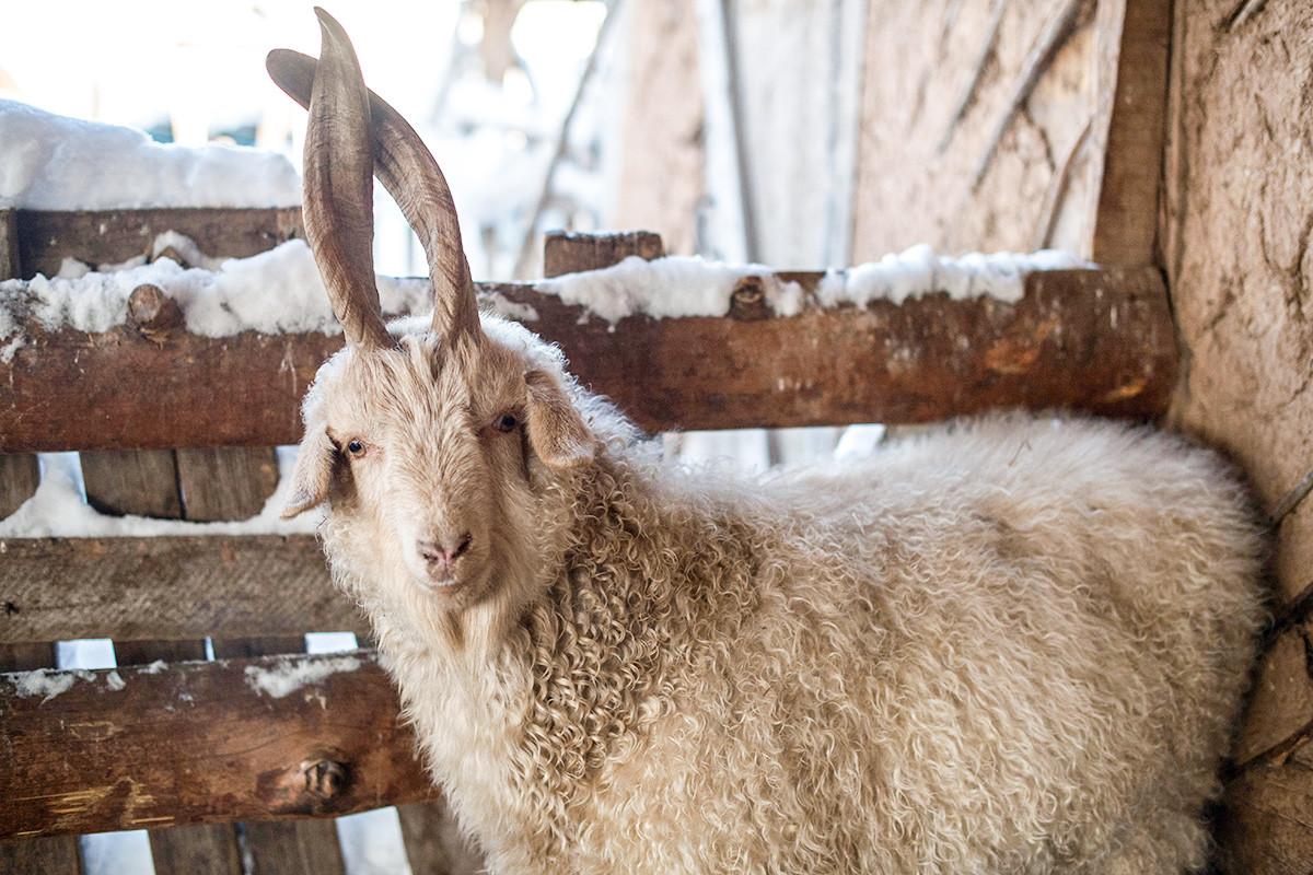 So sieht die Orenburger Ziege aus.