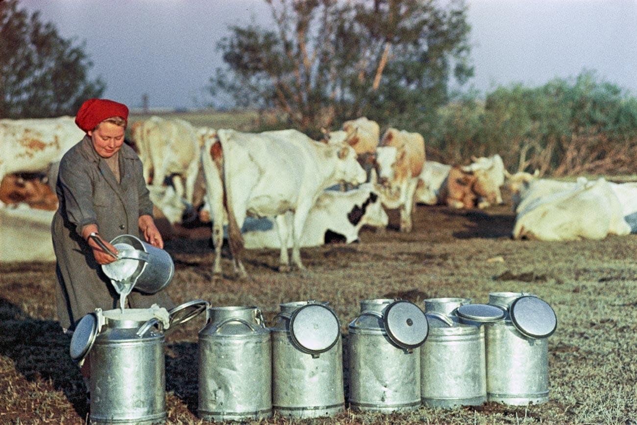 Дневная дойка коров в одном из колхозов.