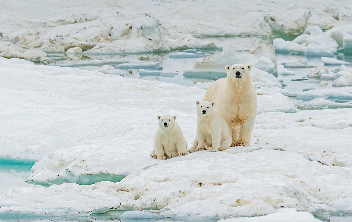 Der Eisbär Ursus maritimus ist ein fleischfressender Bär, der hauptsächlich innerhalb des Polarkreises heimisch ist, der den Arktischen Ozean umfasst. Wrangel-Insel, autonomer Kreis Tschukotka, Russland.