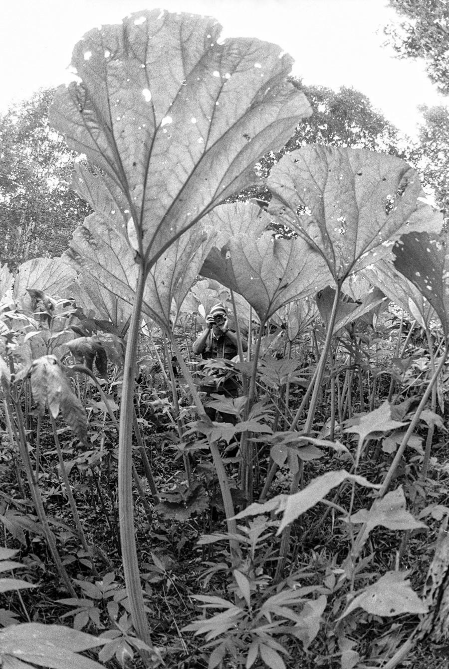 Научные сотрудники исследуют заросли гигантсих лопухов на Сахалине.