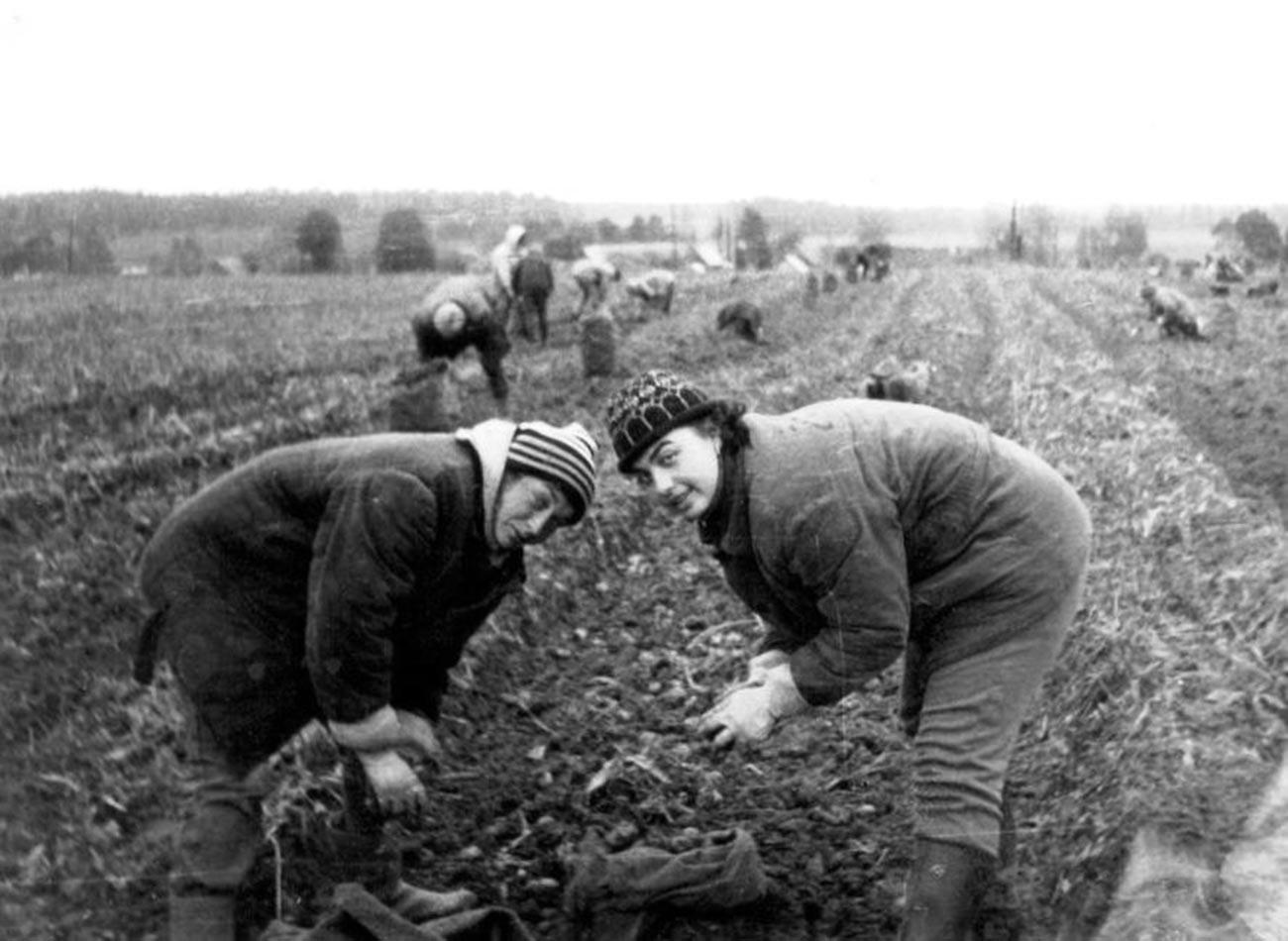Mahasiswa Departemen Biologi Universitas Negeri Moskow menggali kentang.