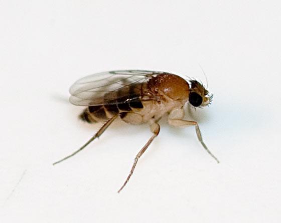 Megaselia scalaris