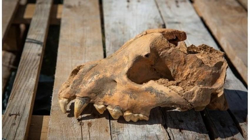 Ohranjena lobanja starodavne hijene