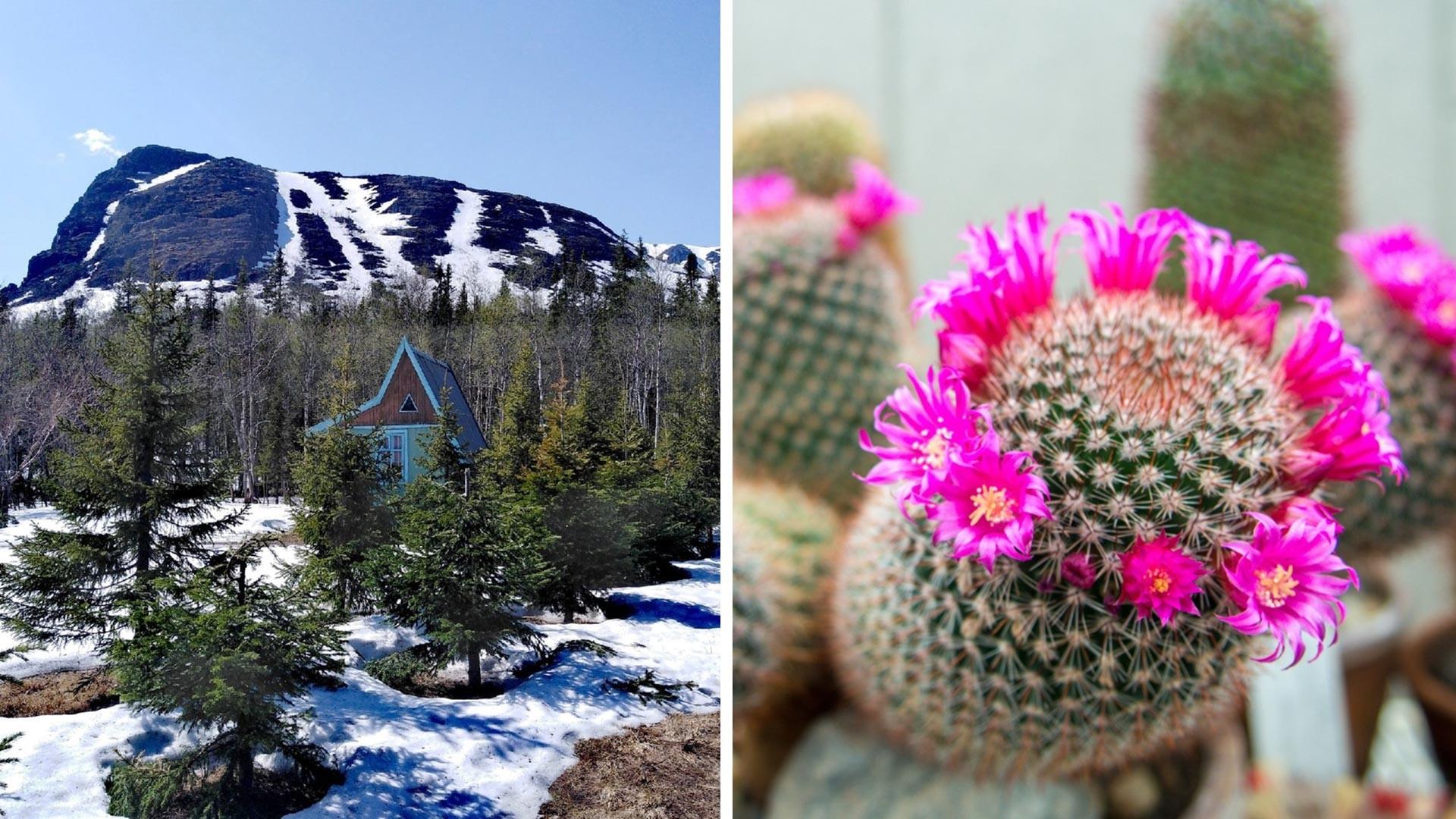 Можете себе представить, чтобы в Заполярье цвели кактусы? А они цветут.