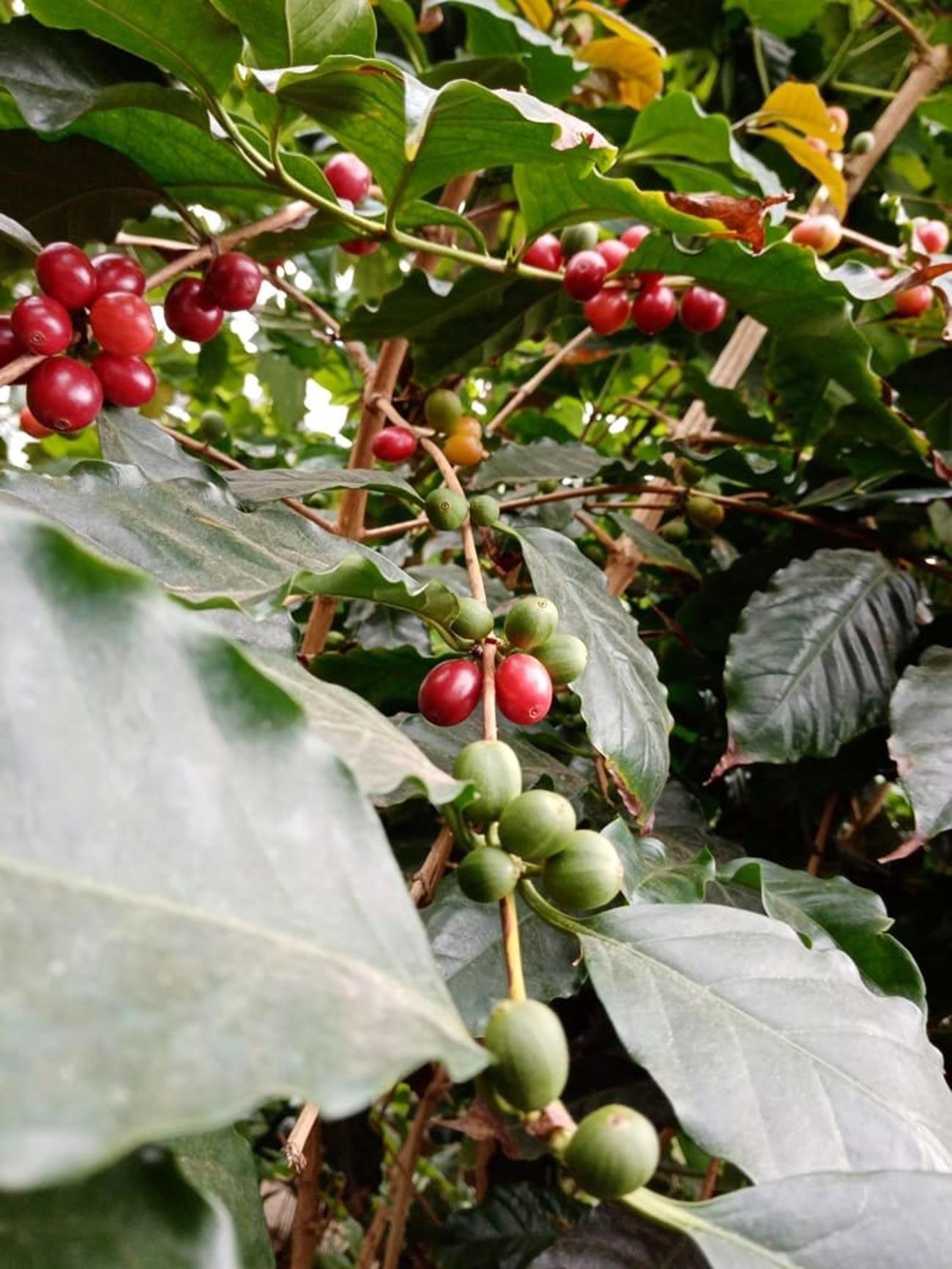 Kavovec s plodovi v botaničnem vrtu
