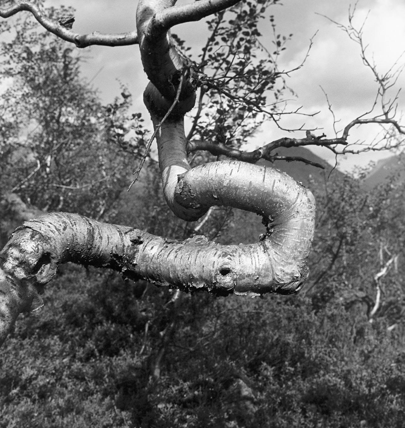 Pohon birch yang batangnya  dipelintir oleh angin utara. Foto ini diambil pada masa Soviet.