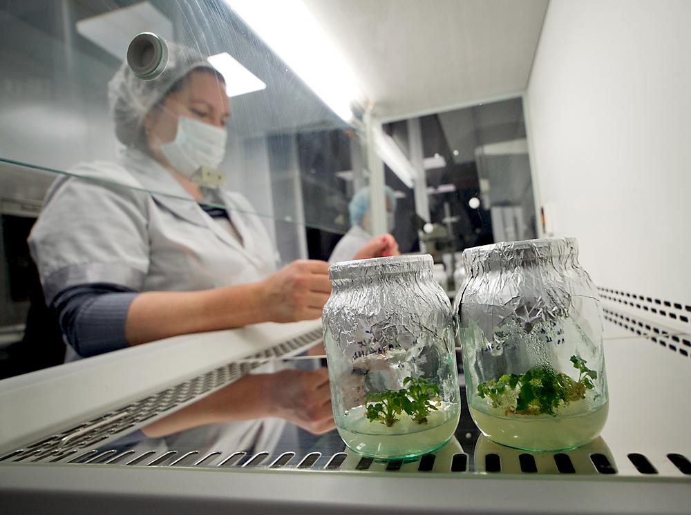 Rússia proíbe importação e cultivo de organismos geneticamente modificados width=