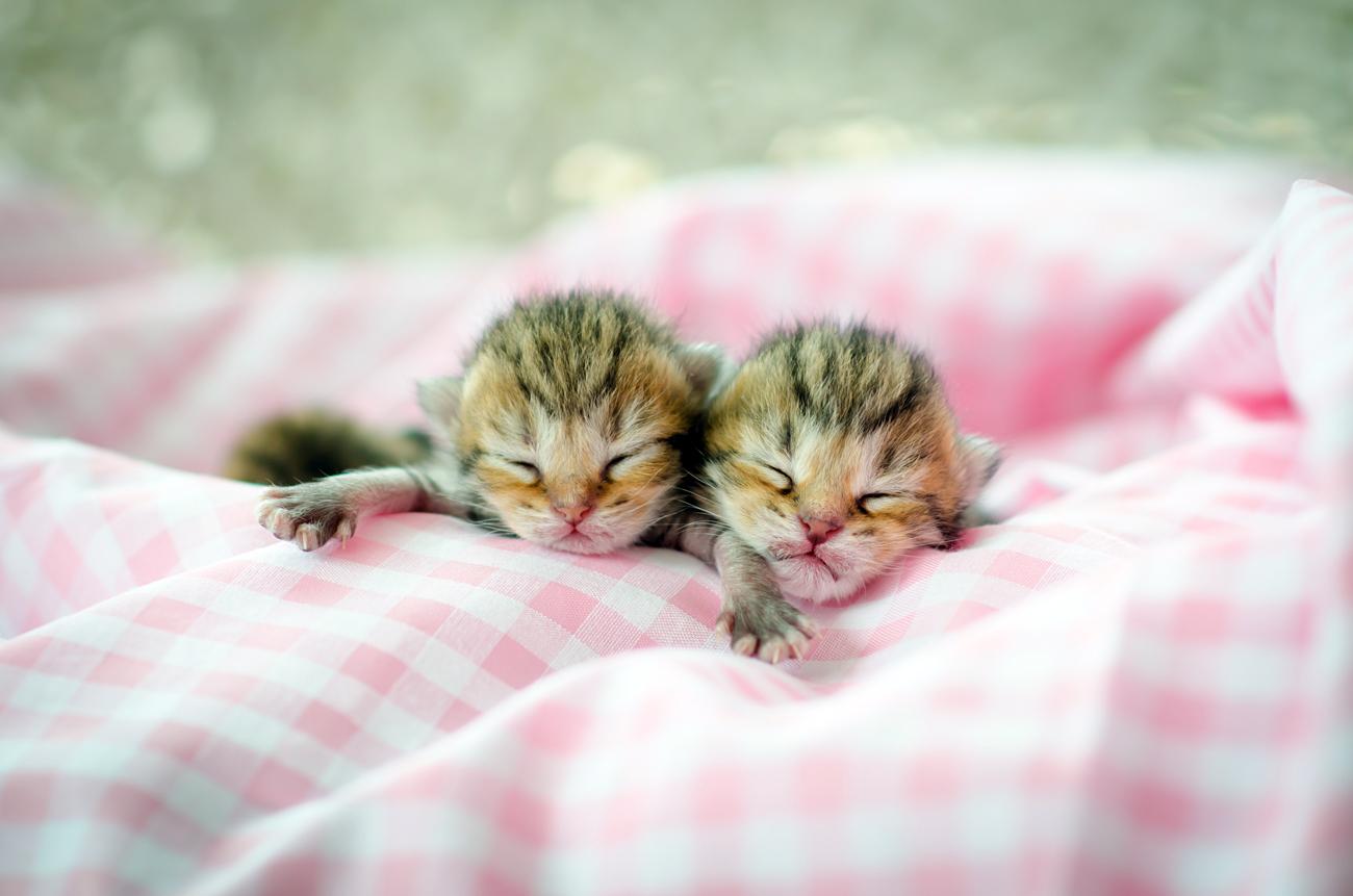 Embriões congelados são promessa para gatos ameaçados width=