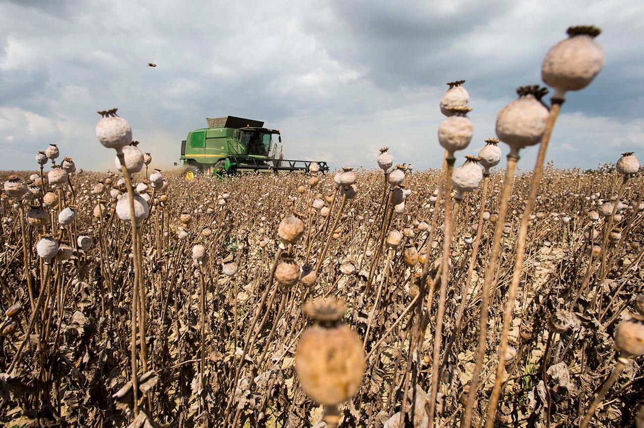 Untuk Keperluan Medis, Rusia Akan Legalisasi Penanaman Opium