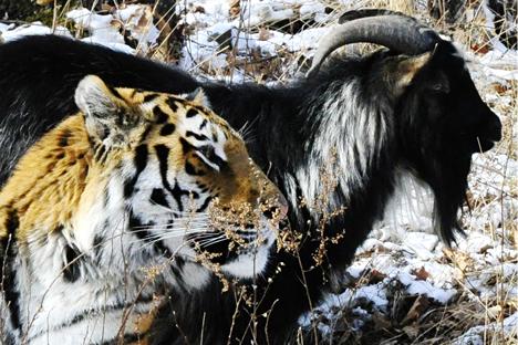 Apa yang Bisa Kita Pelajari dari Kemesraan Harimau Amur dan Kambing Timur?