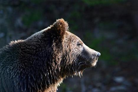 Como sobreviver ao encontro com um urso-pardo width=