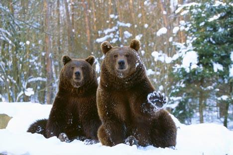 Siberia: Beruang, Berbahaya, dan Dingin, Benarkah?