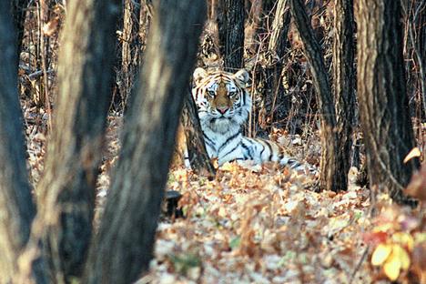 Dilepas Setelah Rehabilitasi, Harimau Putin Masuk Wilayah Tiongkok